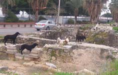 Archaeology Dogs of Tiberias
